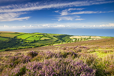 Heather carpeted moorland, countryside and coast, Exmoor National Park, Somerset, England, United Kingdom, Europe