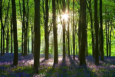 Early morning sunlight in West Woods bluebell woodland, Lockeridge, Wiltshire, England, United Kingdom, Europe