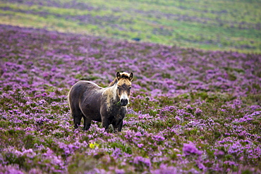 Exmoor pony grazing in flowering heather in the summer, Dunkery Hill, Exmoor National Park, Somerset, England, United Kingdom, Europe