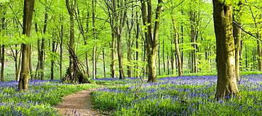 Beech woods and carpets of bluebells, West Woods, Marlborough, Wiltshire, England, United Kingdom, Europe