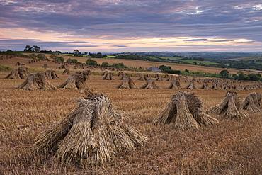 Corn stooks in a Devon field at sunset, Newbuildings, Devon, England, United Kingdom, Europe