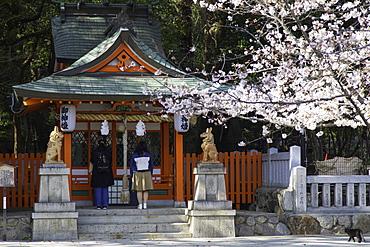 Cherry blossom at Ikuta Jinja shrine, Kobe, Kansai, Japan, Asia