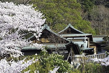 Cherry blossom at Kitano Tenman shrine, Kobe, Kansai, Japan, Asia