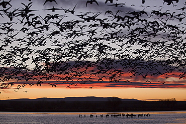 Lesser snow geese (Chen caerulescens caerulescens) in flight at sunrise, greater sandhill cranes (Grus canadensis tabida) in water, Bosque del Apache National Wildlife Refuge, New Mexico, United States of America, North America