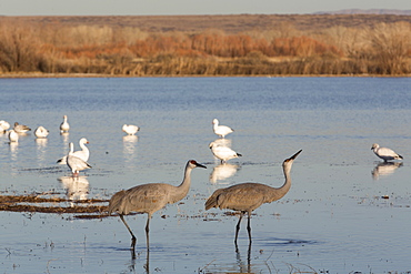 Greater sandhill cranes (Grus canadensis tabida) in foreground, and lesser snow geese (Chen caerulescens caerulescens) in background, Bosque del Apache National Wildlife Refuge, New Mexico, United States of America, North America