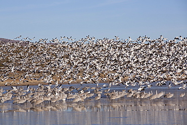 Lesser snow geese (Chen caerulescens caerulescens) in flight, and greater sandhill cranes (Grus canadensis tabida) standing in water, Bosque del Apache National Wildlife Refuge, New Mexico, United States of America, North America