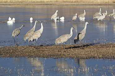 Greater sandhill cranes (Grus canadensis tabida) grey color, and lesser snow geese (Chen caerulescens caerulescens) white color, Bosque del Apache National Wildlife Refuge, New Mexico, United States of America, North America