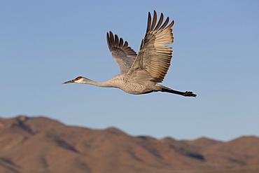 Greater sandhill crane (Grus canadensis tabida), Bosque del Apache National Wildlife Refuge, New Mexico, United States of America, North America
