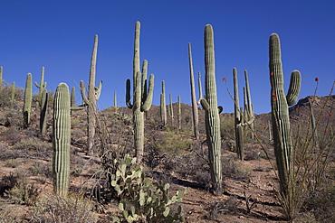 Ocotillo cactus (Fouquieria Splendens) in foreground, Saguaro cactus (Camegiea Gigantea) in background, West-Tucson Mountain District, Saguaro National Park, Arizona, United States of America, North America