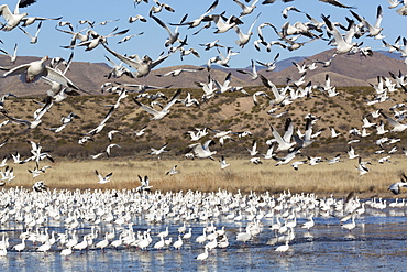 Lesser Snow Geese (Chen C. caerulescens), Bosque del Apache National Wildlife Refuge, New Mexico, United States of America, North America