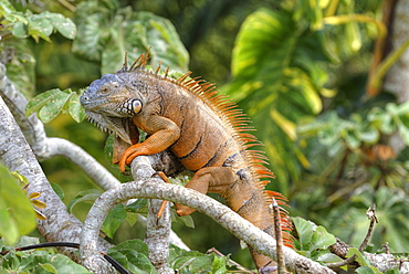 Green Iguana (Iguana iguana), Green Iguana Project, San Ignacio, Belize, Central America