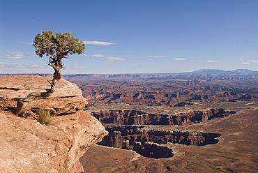 Grand View Point Overlook with Utah Juniper tree (Juniperus osteosperma) in foreground, Canyonlands National Park, Utah, United States of America, North America