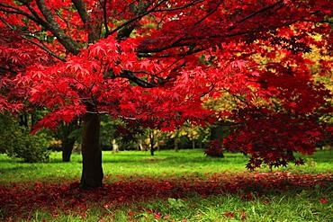 Autumn colours, Westonbirt Arboretum, Gloucestershire, England, United Kingdom, Europe