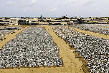 Drying fish at the port of Negombo, Sri Lanka, Asia