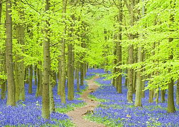 Spring bluebells in beech woodland, Dockey Woods, Buckinghamshire, England, United Kingdom, Europe