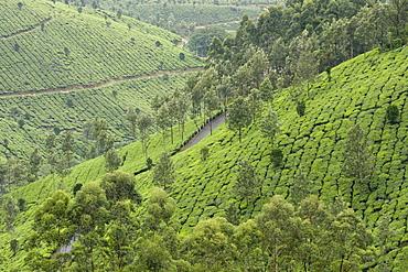 Tea gardens in Devikulam, Kerala, India, Asia