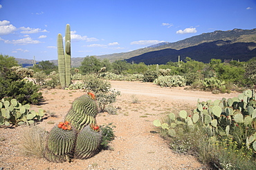 Saguaro cacti and barrel cacti in bloom, Saguaro National Park, Rincon Mountain District, Tucson, Arizona, United States of America, North America