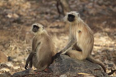 Langur monkeys, (Semnopithecus entellus), Ranthambore National Park, Rajasthan, India, Asia