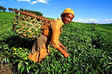 Tea harvest on Sahambavy estate near Fianarantsoa, Madagascar, Africa