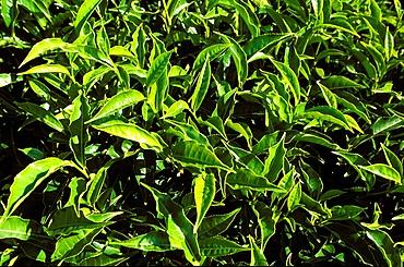 Tea bushes on Sahambavy estate near Fianarantsoa, Madagascar, Africa