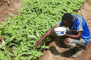Man tending a vegetable garden, Tori, Benin, West Africa, Africa