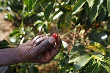 Coffee plantation financed by a loan from BIMAS microcredit, Kathangiri, Kenya, East Africa, Africa