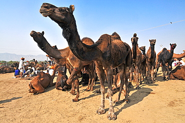 Camel fair in Pushkar, Rajasthan, India, Asia