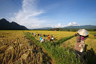Rice fields with stunning mountain back drop and farmers harvesting rice, Van Vieng, Vientiane Province, Laos, Indochina, Southeast Asia, Asia