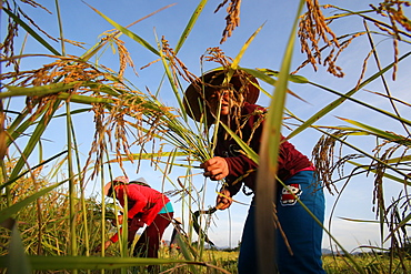 Lao farmer harvesting rice, Vang Vieng, Vientiane Province, Laos, Indochina, Southeast Asia, Asia