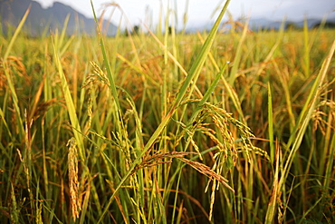 Close up of rice growing in a paddy field, Van Vieng, Vientiane Province, Laos, Indochina, Southeast Asia, Asia
