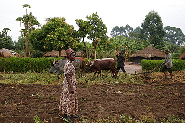 Symphoroza Bujune bought oxen with a 500000 UGS group loan from Kolping Uganda Society, Uganda, Africa