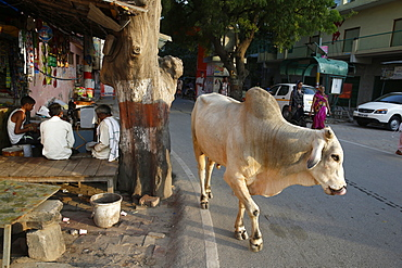 Road and sidewalk with cow in Vrindavan, Uttar Pradesh, India, Asia