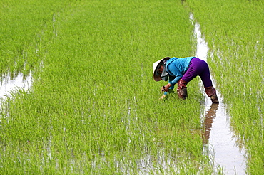 Vietnamese farmer working in her rice field transplanting young rice, Hoi An, Vietnam, Indochina, Southeast Asia, Asia