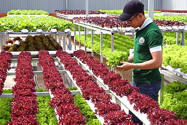 Organic hydroponic vegetable farm, young man growing organic lettuces, Dalat, Vietnam, Indochina, Southeast Asia, Asia