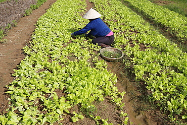 Vietnamese woman working in a lettuce field, Kon Tum, Vietnam, Indochina, Southeast Asia, Asia