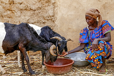 Cattle breeder Animata Guiro, UBTEC NGO in a village near Ouahigouya, Burkina Faso, West Africa, Africa