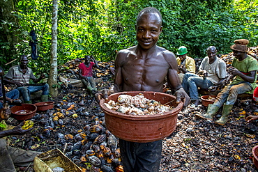 Farmers breaking up harvested cocoa (cacao) pods, Ivory Coast, West Africa, Africa