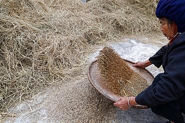 Woman winnowing rice, Lang Son, Vietnam, Indochina, Southeast Asia, Asia