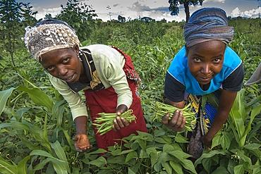 Bean harvest in Machakos, Kenya, East Africa, Africa