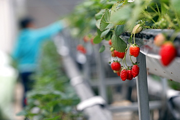 Strawberry rows in greenhouse on organic hydroponic vegetable farm, Dalat, Vietnam, Indochina, Southeast Asia, Asia