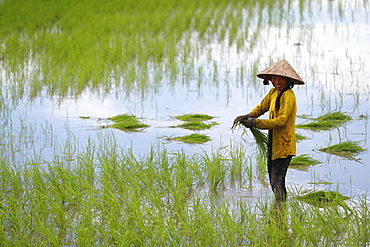 Woman farmer working in a rice field transplanting rice in the Mekong Delta, Can Tho, Vietnam, Indochina, Southeast Asia, Asia