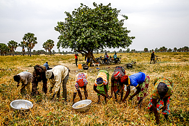 Bean harvest in Djibomben village, North Togo, West Africa, Africa