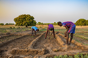 Market farming in Savanes province, Togo, West Africa, Africa
