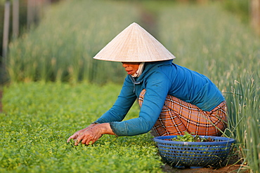 Organic vegetable gardens in Tra Que Village, farmer at work, Hoi An, Vietnam, Indochina, Southeast Asia, Asia