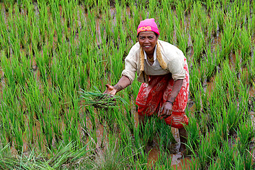 Farmer at work in rice paddy field, Madagascar, Africa