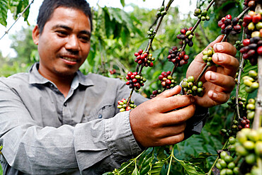 Man working in coffee plantation, Buon Me Thuot, Dak Lak, Vietnam, Indochina, Southeast Asia, Asia