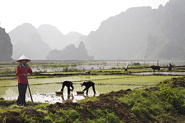 Rice planters working in paddy fields, Vietnam, Indochina, Southeast Asia