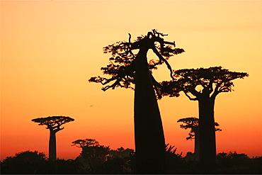 The baobab alley of Morondava, Madagascar, Africa