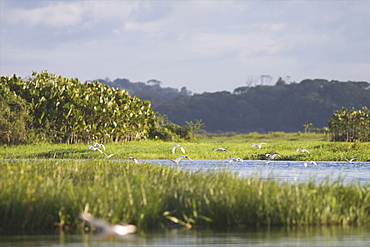 Egrets in the everglades of Kaw, French Guiana, South America