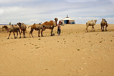 A Mongolian family, yurt and camels in the Gobi desert, Mongolia, Central Asia, Asia